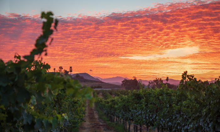 Vineyards at sunrise. (Courtesy of Visit Temecula Valley)