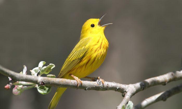 A yellow warbler. (Steve Byland/Shutterstock)