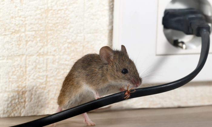 Urgent action required as mouse plague spreads. (Shutterstock)