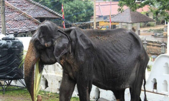 Emaciated Elderly Elephant Dies 1 Month After Parade Photos Go Viral