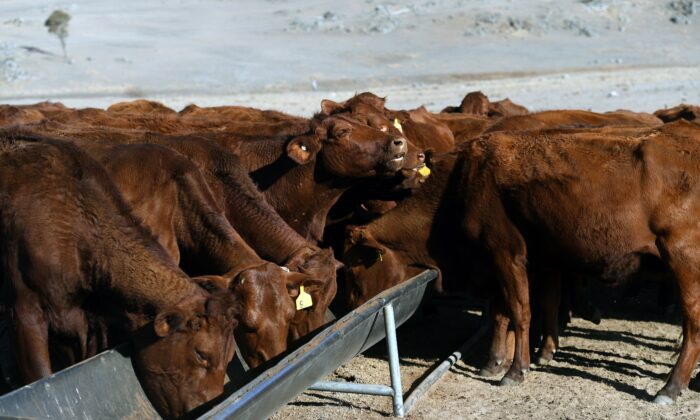Cattle feeding from a trough on a drought-affected farm near Armidale in regional New South Wales on Aug. 26, 2019. (WILLIAM WEST/AFP/Getty Images)