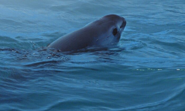 """A vaquita, its species on the brink of extinction, in """"Sea of Shadows."""" (Terra Mater Factual Studios)"""