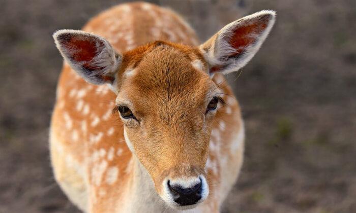 Stock image of a deer. (MabelAmber/Pixabay)