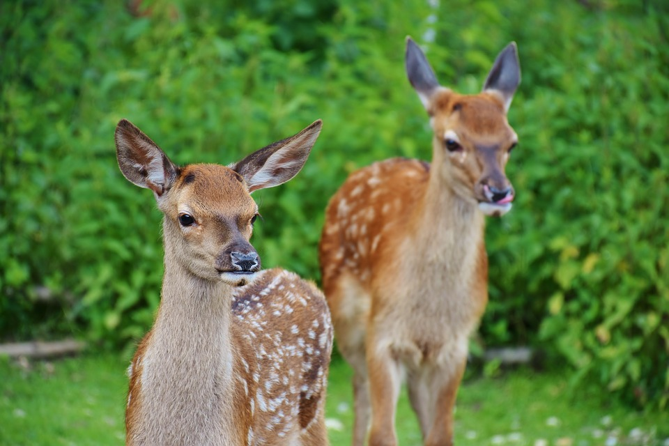 Humans in Danger to get Tuberculosis from Infected Deers