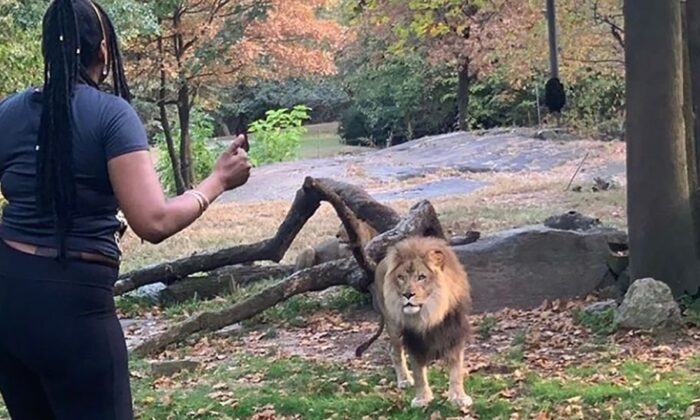 The Bronx Zoo says the woman who trespassed inside its lion enclosure on Saturday put herself in serious danger. (Courtesy of @realsobrino/Instagram)