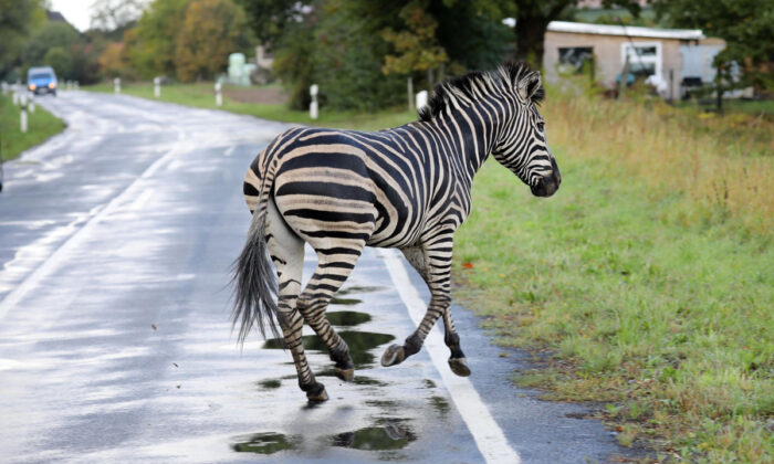 A zebra escaped from the circus and was shot dead on a highway. (Bernd Wuestneck/Getty Images)