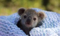 Koala Joey Elsa Melts Hearts as Keepers Forced to Intervene in Her Care