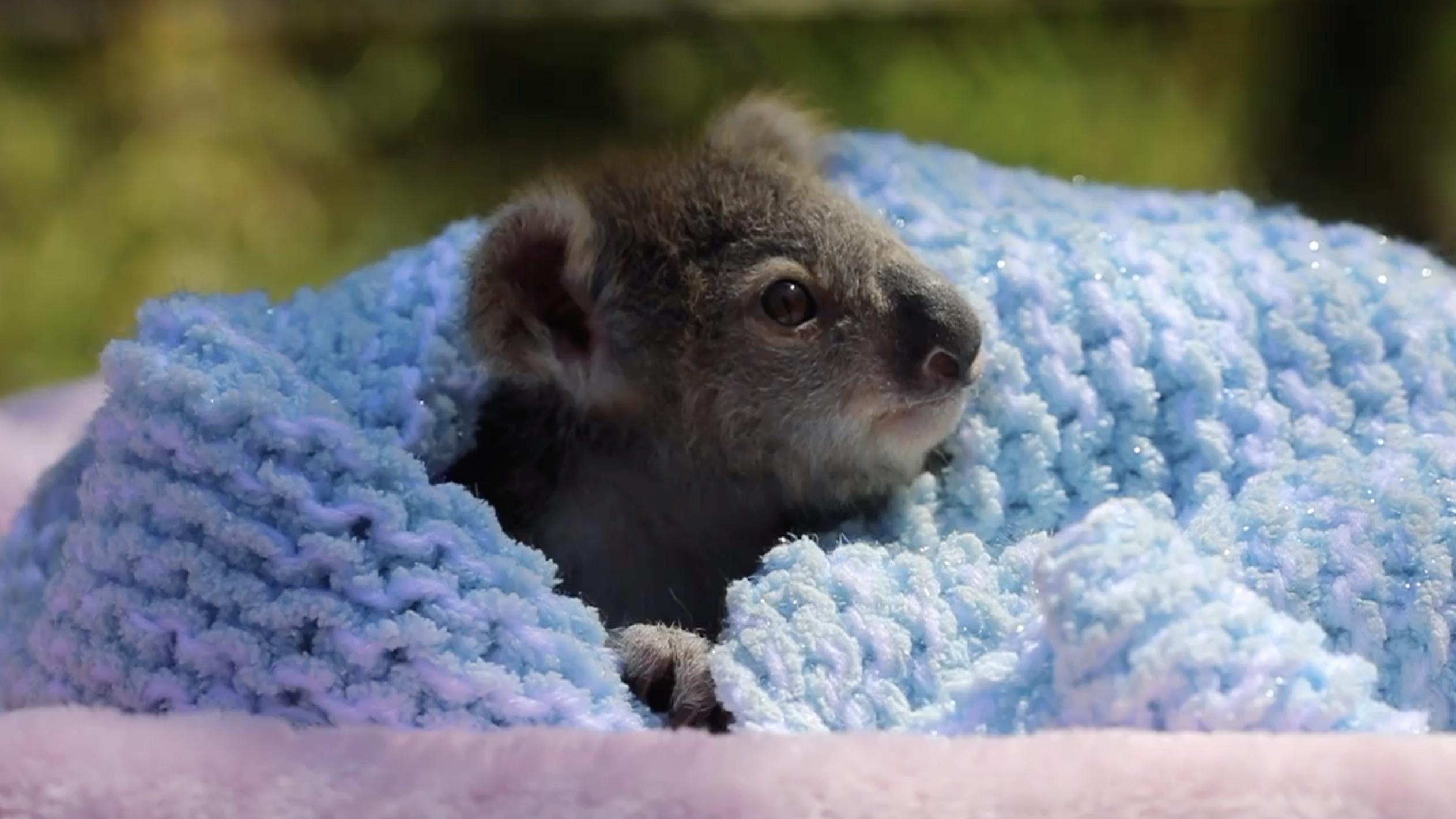 koala joey elsa australian reptile park
