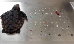 Tiny Dead Sea Turtle Washes Ashore Stuffed Full of Ingested Plastics