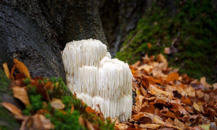 The rare, edible lion's mane mushroom, aka hericium erinaceus, has an unmistakable appearance. (Fotografiecor.nl/Shutterstock)