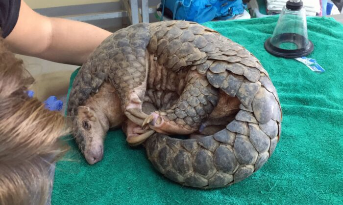 A Chinese pangolin on Sept. 30, 2019, after it was rescued by Perth-based charity Free The Bears in Laos. It was the first time the organisation saved one of the critically endangered species, which is covered in keratin scales that are prized in Asia in the mistaken belief they cure a range of ailments. (AAP Images/Supplied by Free The Bears)