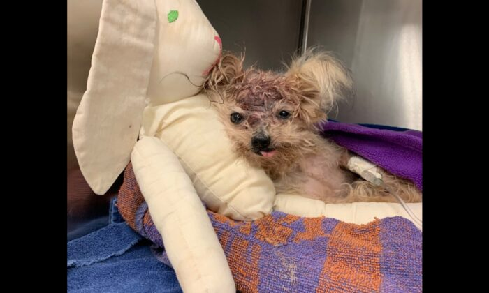 A small Yorkshire Terrier with a traumatic head injury has died after she was found in a North Philadelphia trash can on Oct. 3, 2019. (Philadelphia SPCA)