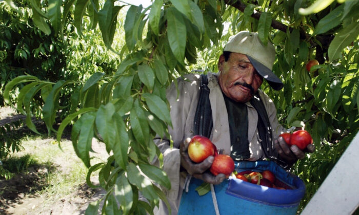 Worker Roberto Rosiles picks fruit at a Sand Hills Farms orchard in Arvin, Calif., on May 13, 2004. (Damian Dovarganes/AP Photo)