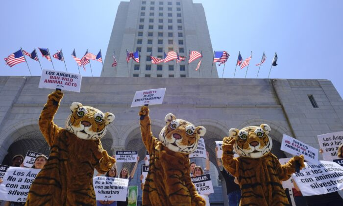 Led by three costumed tigers, dozens of animal rights protesters with People for the Ethical Treatment of Animals (PETA) gather at City Hall in Los Angeles, on July 7, 2016. (Richard Vogel/AP Photo)