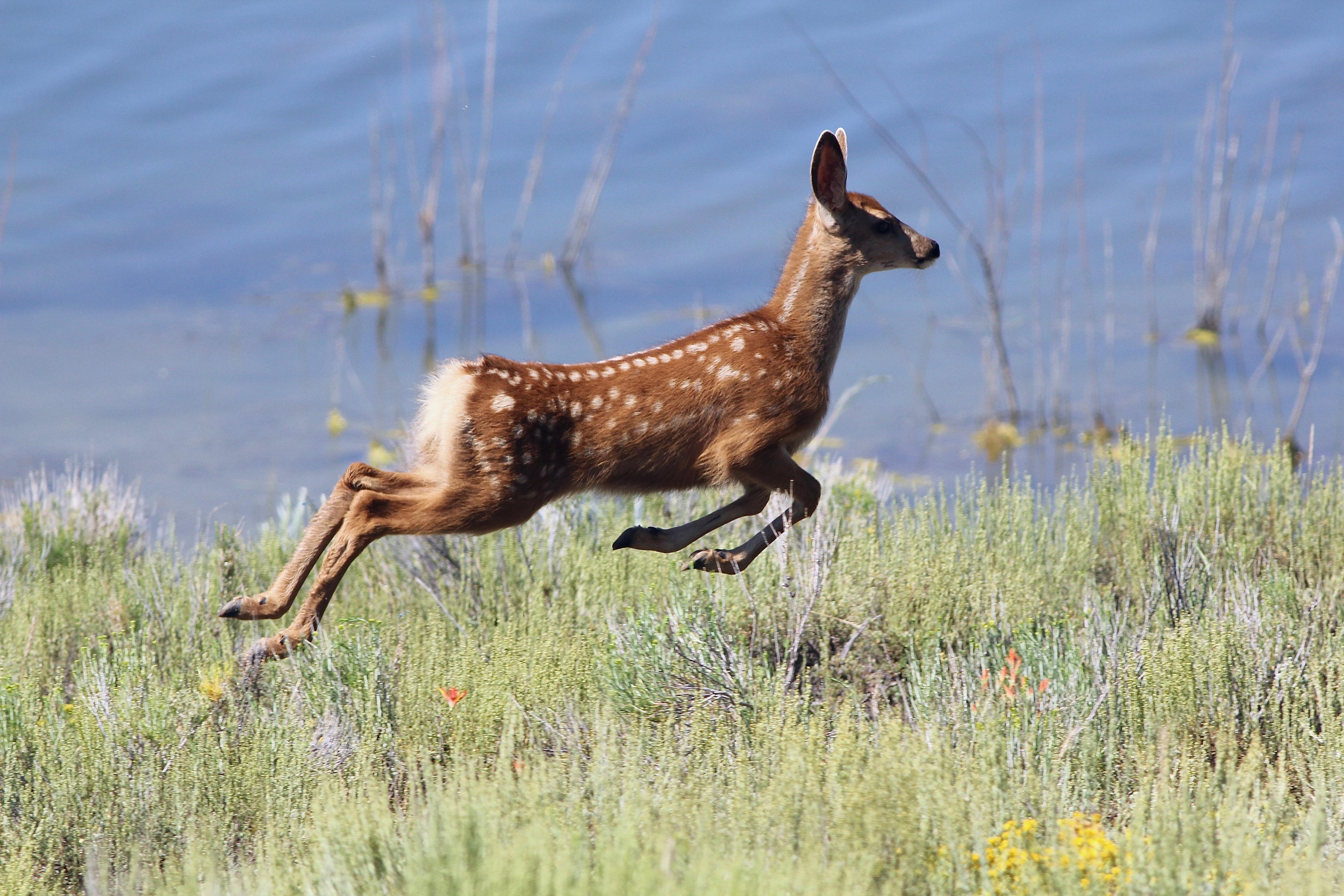 Mule Deer fawn - Miramonte Reservoir - Eric Hynes