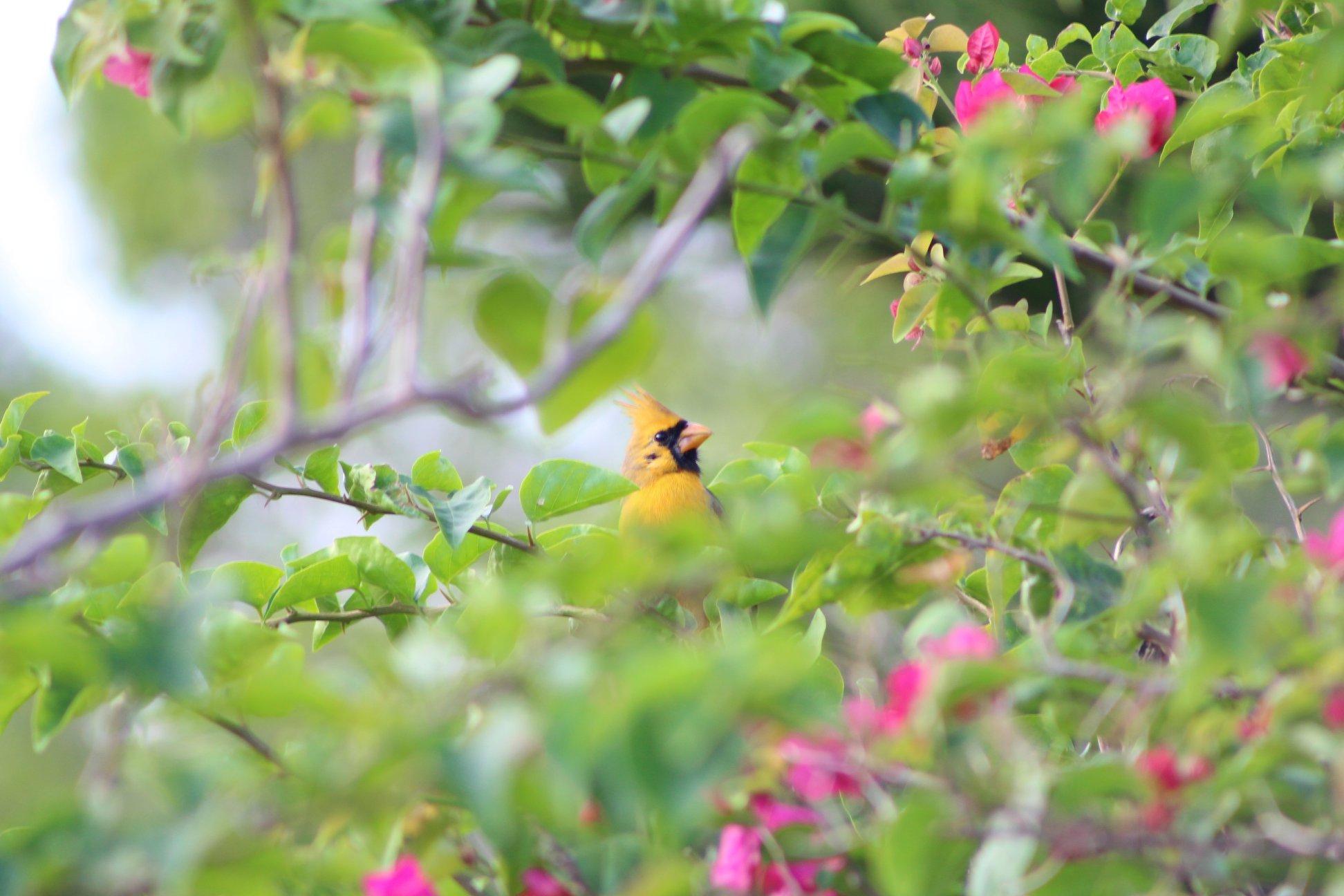 Photograph of the rare Yellow Cardinal