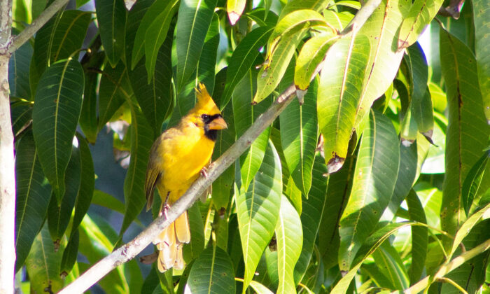 The rare yellow cardinal in Port St. Lucie, Florida, on Oct. 13. 2019. (Tracy Workman)