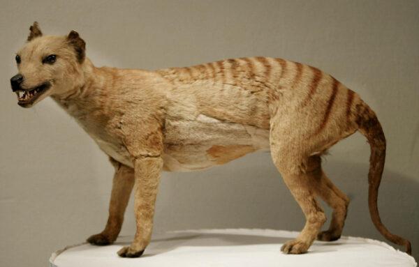 A-Tasmanian-tiger-Thylacine