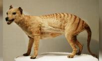 People Spotting Tasmanian Tiger, 80 Years After Presumed Extinction