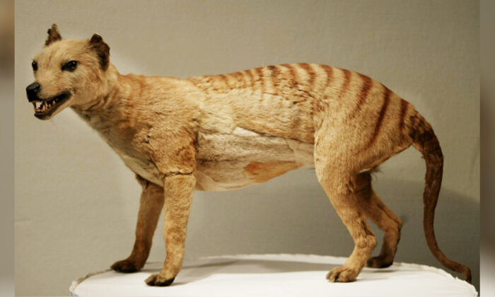 A Tasmanian tiger (Thylacine), which was declared extinct in 1936, is displayed at the Australian Museum in Sydney, 25 May 2002. (Torsten Blackwood/AFP via Getty Images)