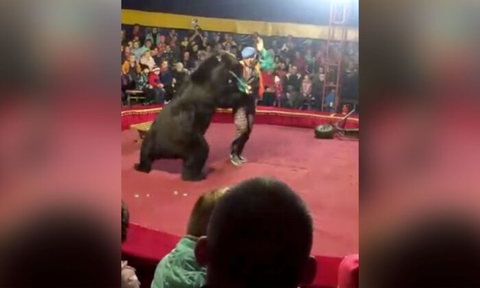Footage from the show in Olonets in the Republic of Karelia showed the bear lunging and knocking the handler to the ground. (Galina Guryeva/The Associated Press)