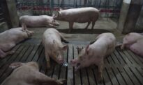 Japan Authorities Warn That African Swine Fever May Enter Its Border