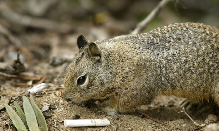 A California ground squirrel forages near an old cigarette butt in Solana Beach, Calif., on March 22, 2004. (David McNew/Getty Images)