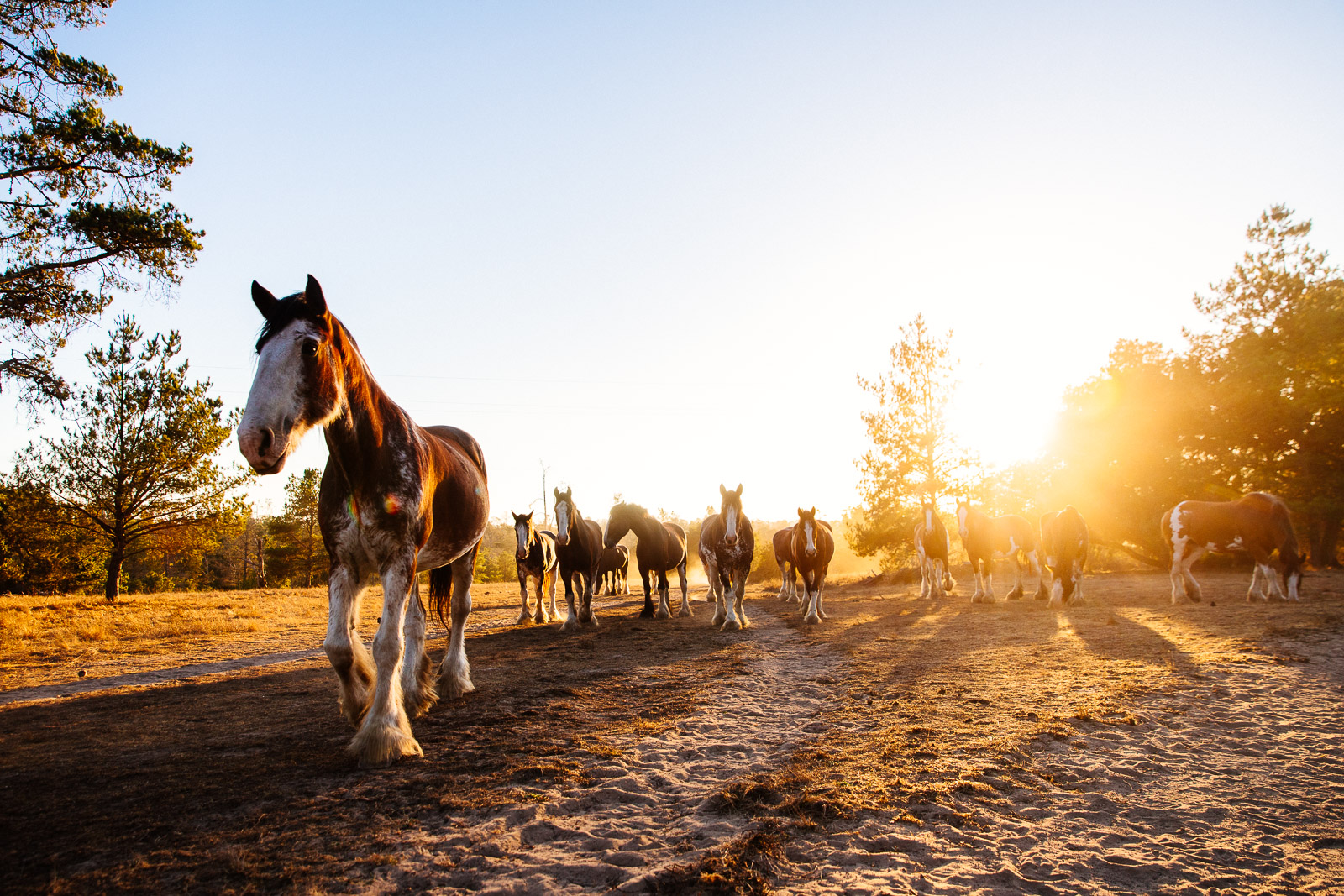 Clydesdales in Cambria