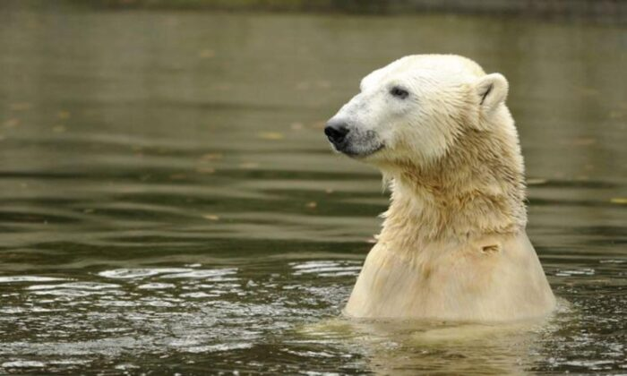 Polar bear Knut swims in his enclosure at the Tiergarten zoo in Berlin on Oct. 19, 2010. (Odd Andersen/AFP/Getty Images)