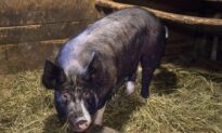 Canadian Pork, Beef Exports to China to Resume