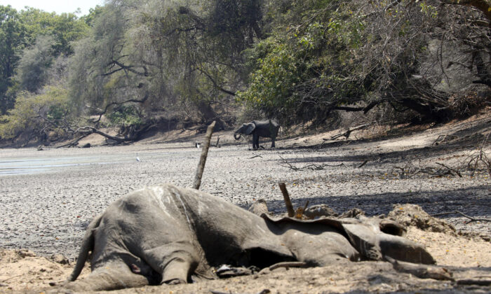 In this Oct, 27, 2019, photo, the carcass of an Elephant lies on the edges of a sun baked pool that used to be a perennial water supply in Mana Pools National Park, Zimbabwe. (Tsvangirayi Mukwazhi/AP)