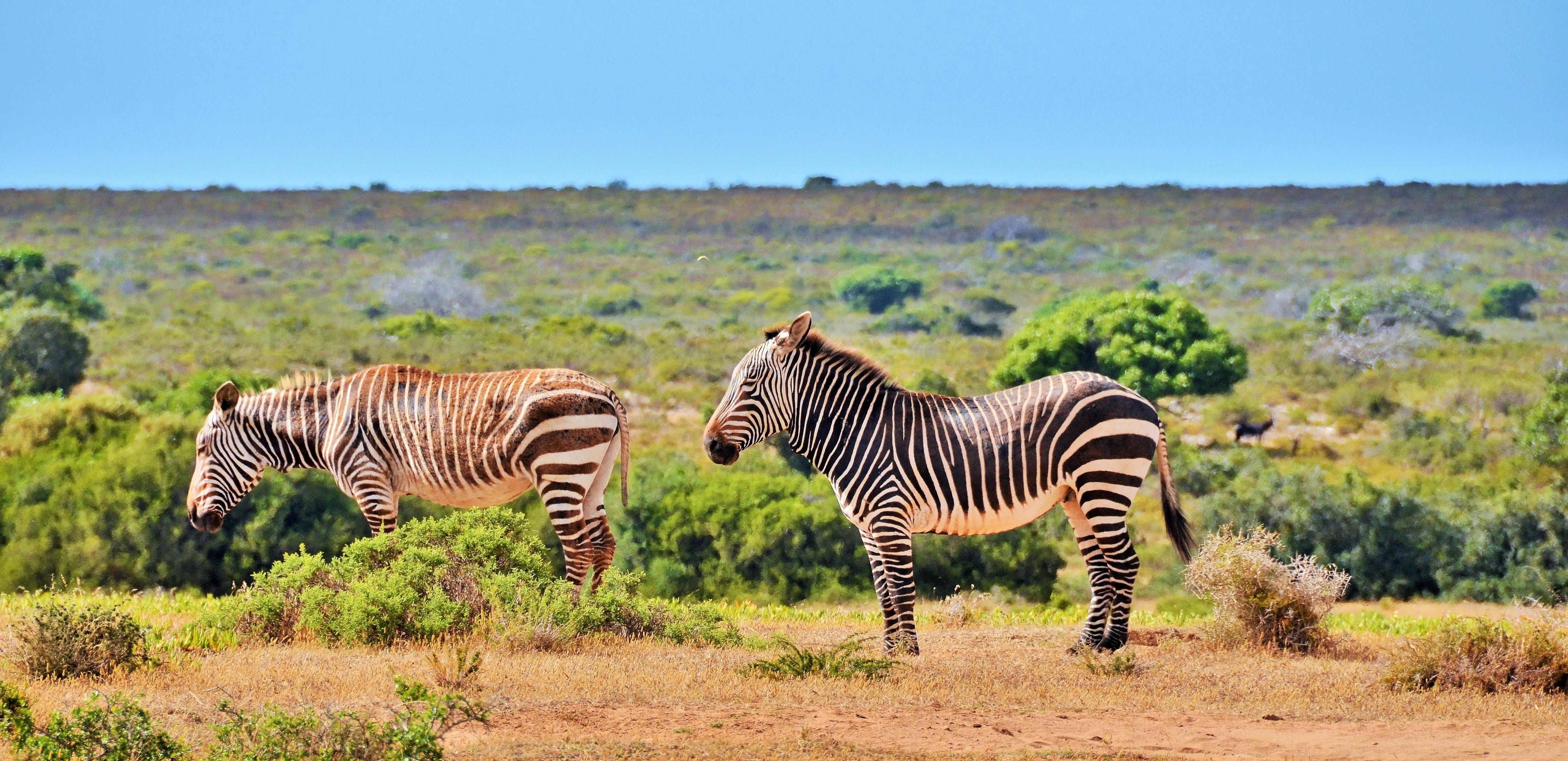 De Hoop Collection -Mountain Zebra