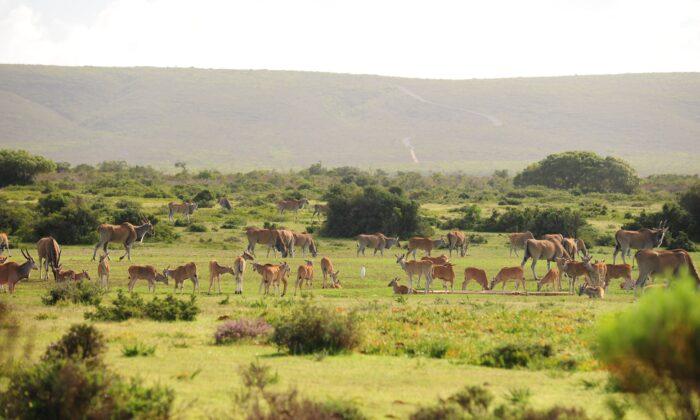 Eland at De Hoop Nature Reserve. (Expert Africa)