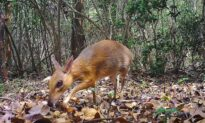 Tiny Deer-Like Animal Seen for First Time in 30 Years in Vietnam