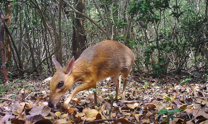 A camera trap photo of a silver-backed chevrotain, a deer-like creature that has not been seen in 30 years, has been discovered living in the wild in Vietnam. (Southern Institute of Ecology/Global Wildlife Consesrvation/Leibniz Institute/NCNP)