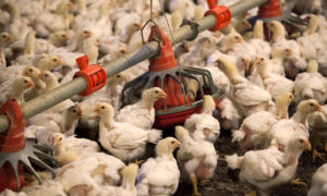 China Tariff Exemptions Boost US Poultry Shipments