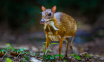 Impossibly Rare 'Mouse-Deer' Thought to Be Extinct Caught on Camera in Forests of Vietnam
