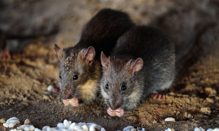 Rats eat grains of puffed rice in Allahabad, India on July 28, 2015. (Sanjay Kanojia/AFP via Getty Images)