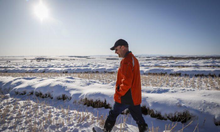 Farmer David Reid checks on his canola crop, which is buried in snow, near Cremona, Alta., on Nov. 6, 2019. (The Canadian Press/Jeff McIntosh)