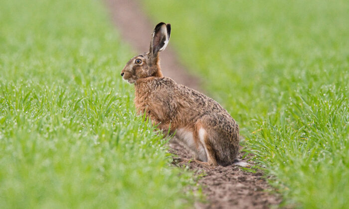 A hare sitting on a field in Algermissen near Hanover, northwestern Germany on April 10, 2019. (Moritz Frankenberg/DPA/AFP via Getty Images)