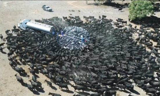 Drone Captures Hundreds of Thirsty Cows Around Water Truck in Drought-Stricken Australia