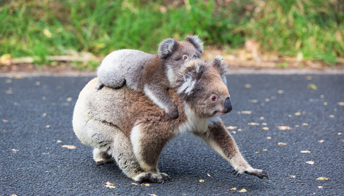 Investigation Launched After Dead Koalas Found on Australian...