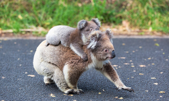 A mother Koala and her joey. (Illustration - Shutterstock)