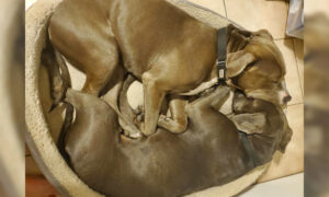 Photo of 2 Pit Bulls' Inseparable Bond After Being Rescued Goes Viral, Gets Them Adopted Together