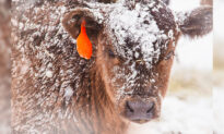 Photos of Cattle Farmer Using Woolly Earmuffs to Protect Baby Cows From Frostbite Go Viral