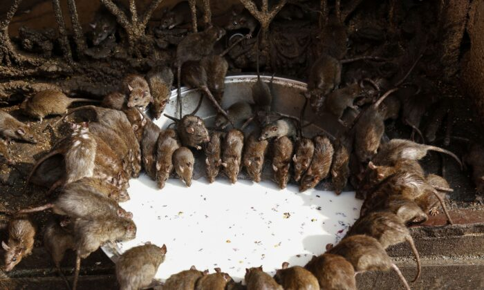 Rats drink from bowl of milk at a temple in Deshnoke near Bikaner, in the Indian state of Rajasthan on Dec. 24, 2018. (Himanshu Sharma/AFP via Getty Images)