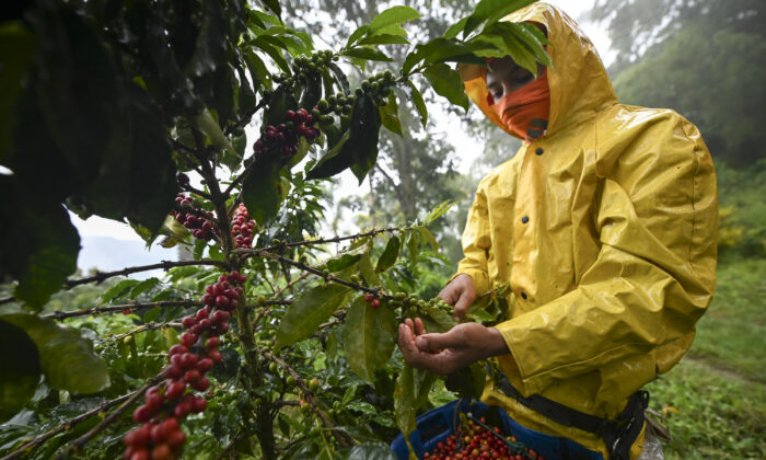 A man harvests coffee in Santuario municipality, Risaralda department, Colombia, on May 10, 2019. (Raul Arboleda/AFP via Getty Images)