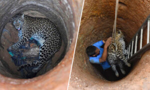 A Risky Rescue: Veterinarian Climbed Down a 30-foot Dry Well to Save a Trapped Leopard