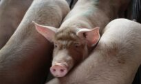 US Pork Industry Braces as Ports 'Bombarded' by African Swine Fever