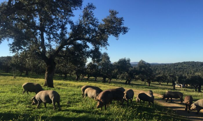 Black Iberian pigs. (Extremadura Tourist Board)